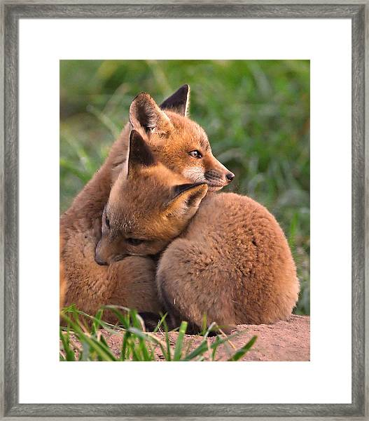 Framed Print featuring the photograph Fox Cubs Cuddle by William Jobes