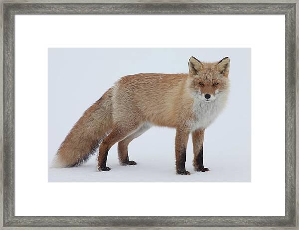 Fox In Snow Field Framed Print by Ichiro