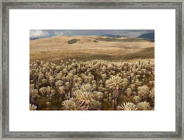 Frailejones', Espeletia Pycnophylla Framed Print by Pete Oxford