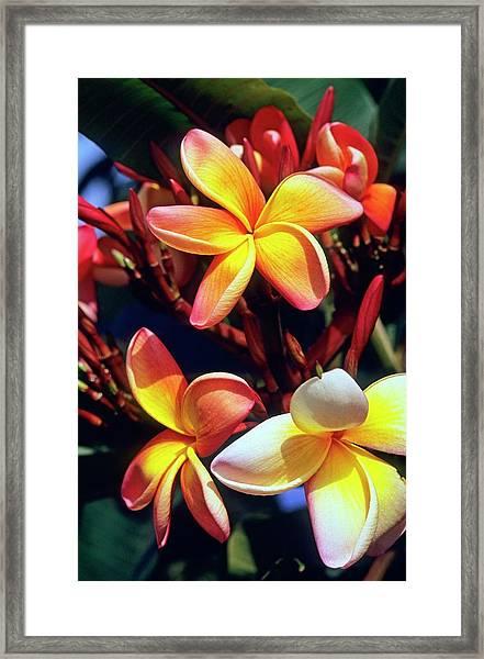 Frangipani (plumeria Tricolor) Framed Print