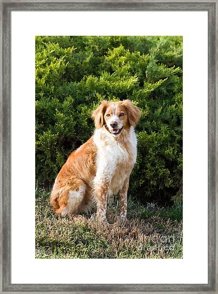 French Brittany Spaniel Framed Print