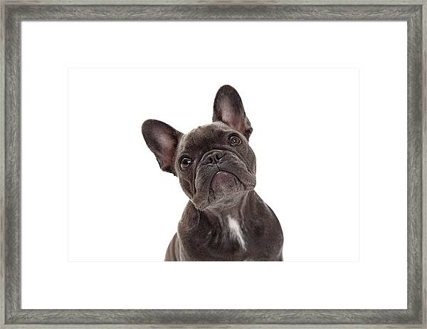 French Bulldog Closeup Framed Print