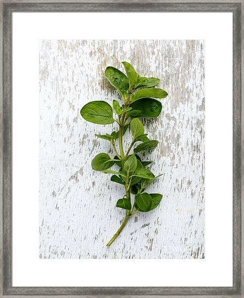 Fresh Oregano Framed Print