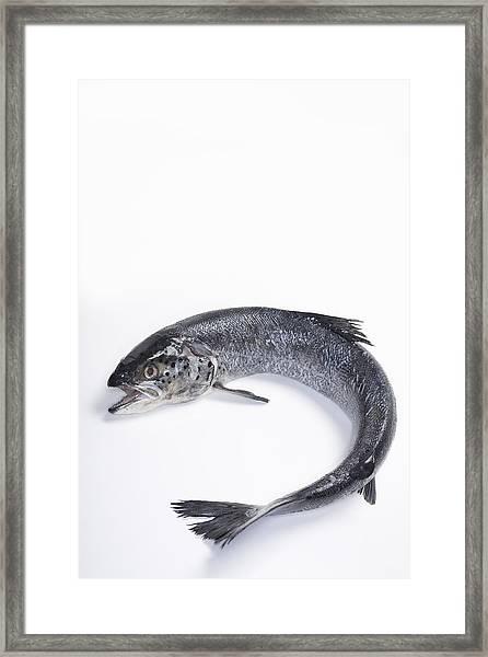 Fresh, Wild Caught, Coho Salmon Framed Print by Inti St. Clair