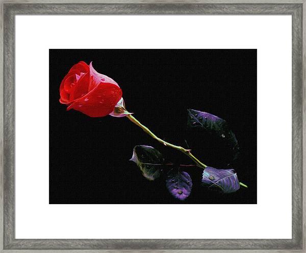 Freshly Watered Red Rose Framed Print