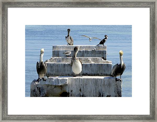 Framed Print featuring the photograph Pelican Friends by Bob Slitzan