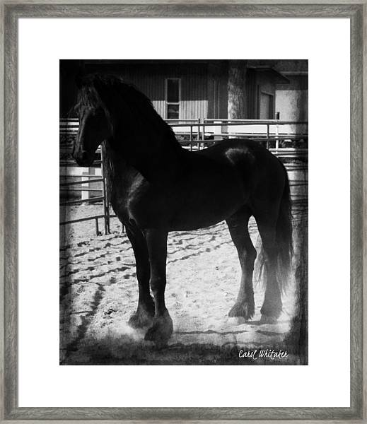 Friesian Apollo Framed Print