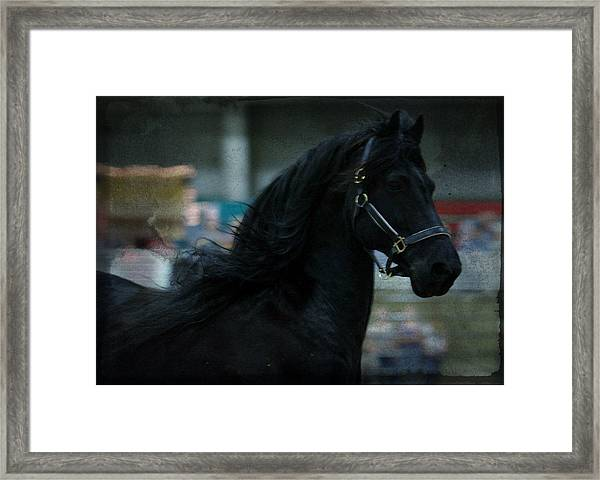 Friesian Display Framed Print