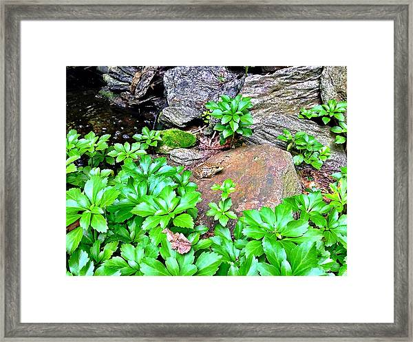 Frog On A Rock Framed Print