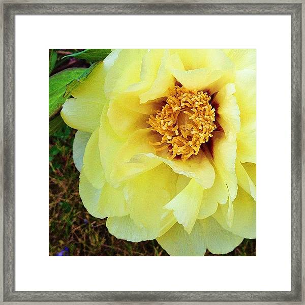 From Mom's Peony Tree Framed Print