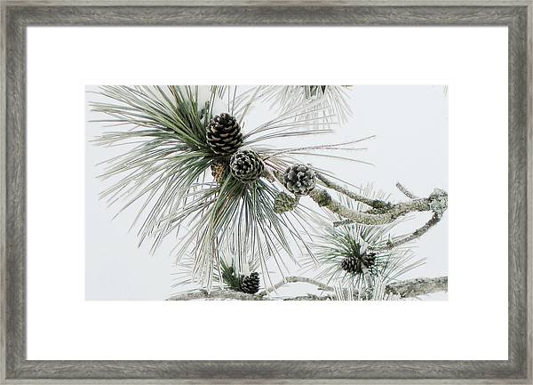 Frosty Pine Cones Framed Print by Carolyn Reinhart