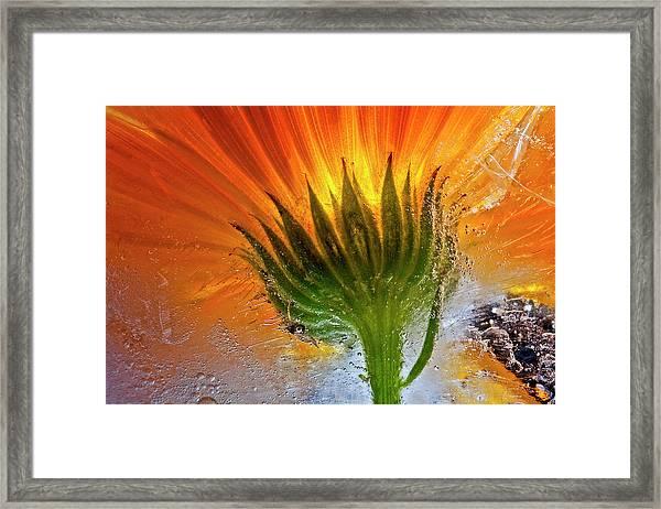Frozen Marigold Framed Print by Secundino Losada