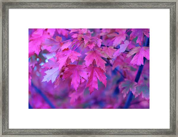 Full Frame Of Maple Leaves In Pink And Framed Print