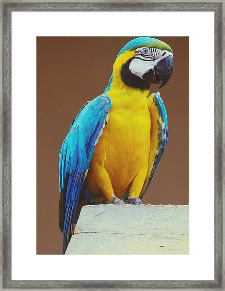 Full Length Of Blue And Yellow Macaw Framed Print