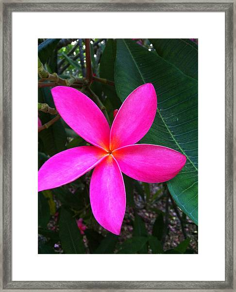 Fuschia Plumeria Bloom Framed Print