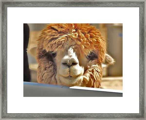 Fuzzy Wuzzy Alpaca Framed Print