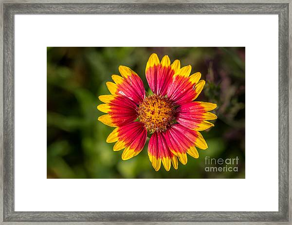 Gaillardia Shows Off Framed Print