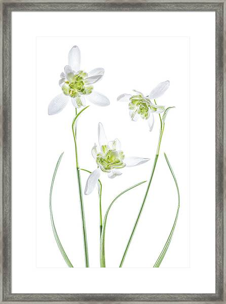 Galanthus Flore Pleno Framed Print by Mandy Disher
