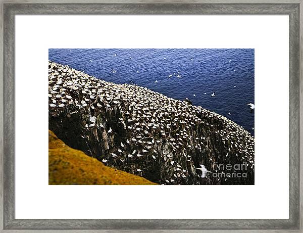 Gannets At Cape St. Mary's Ecological Bird Sanctuary Framed Print