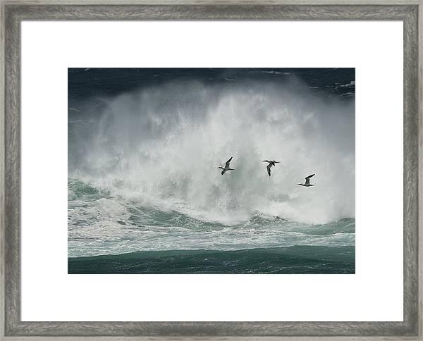 Gannets Past A Raging Sea. Framed Print