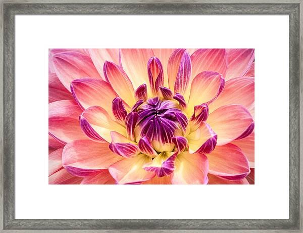 Garden Dahlia Framed Print