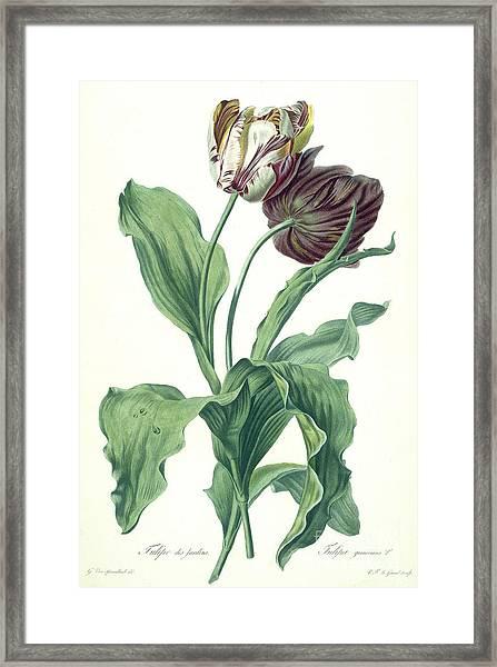 Garden Tulip Framed Print