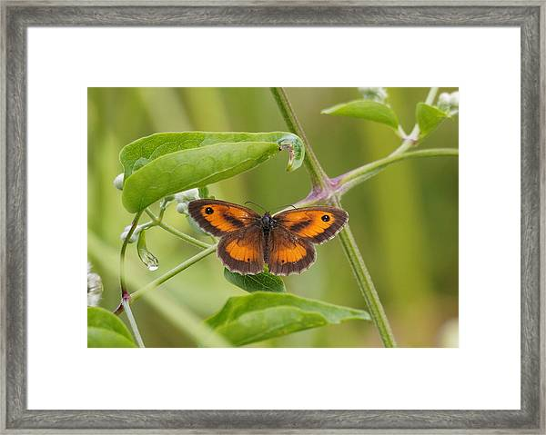 Gatekeeper Butterfly -01 Framed Print