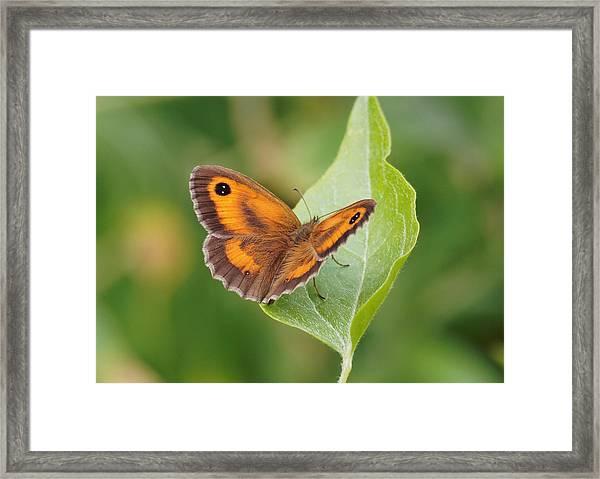 Gatekeeper Butterfly-02 Framed Print