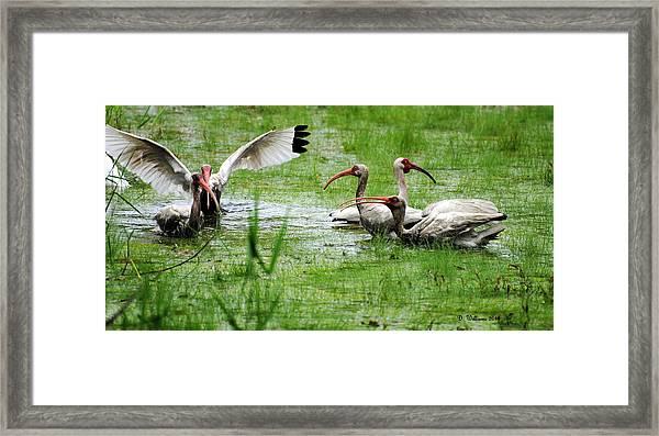 Gathering Of Ibis Framed Print