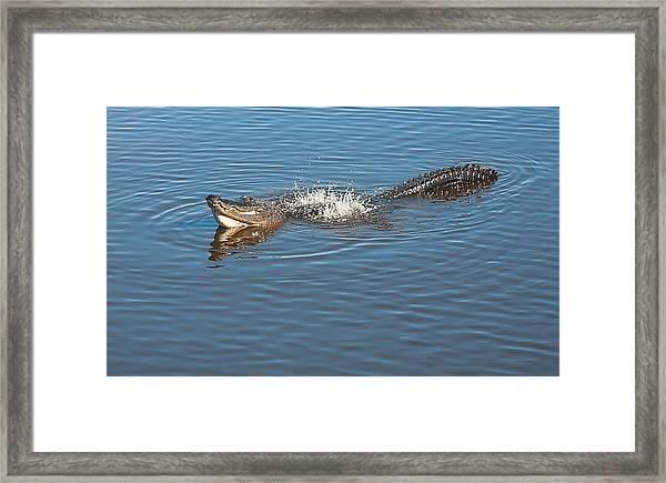 Gator Waves Framed Print