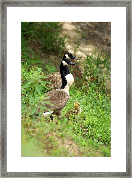 Geese And Gosling Framed Print