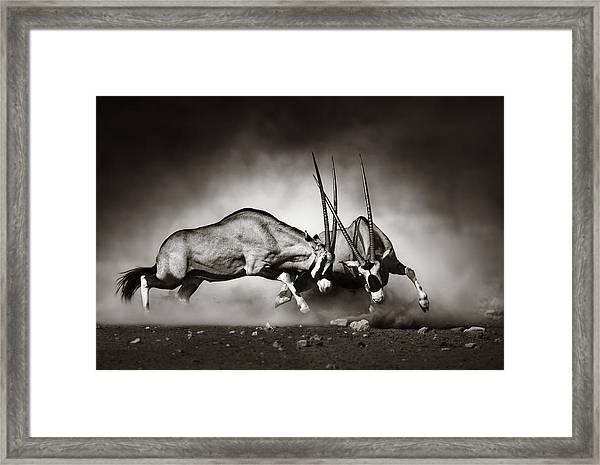 Gemsbok Fight Framed Print