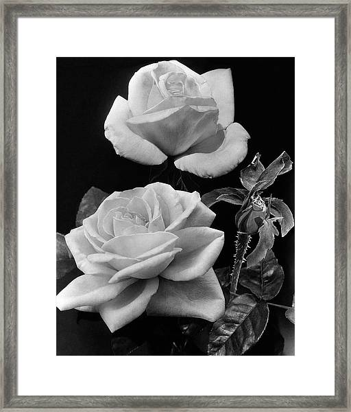 'george Arends' Roses Framed Print