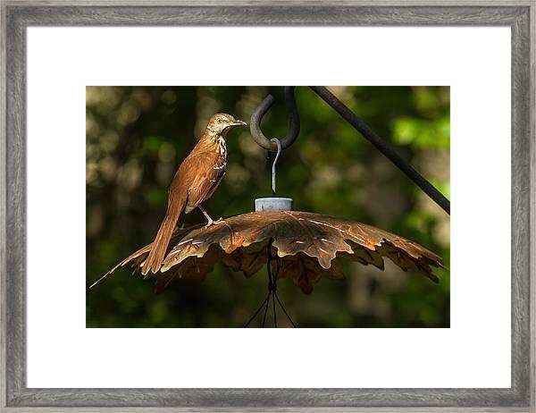 Georgia State Bird - Brown Thrasher Framed Print