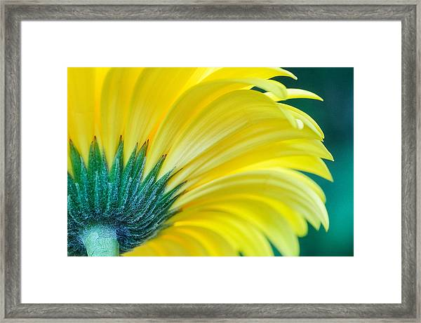 Framed Print featuring the photograph Gerber Daisy by Garvin Hunter