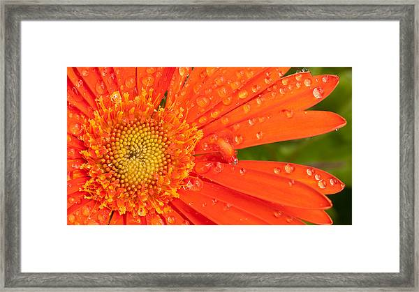Gerber Daisy Framed Print