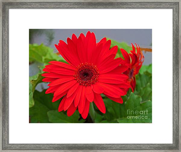 Gerbera Love Framed Print
