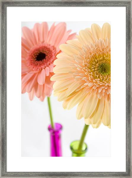Peach And Pink Gerbera Framed Print