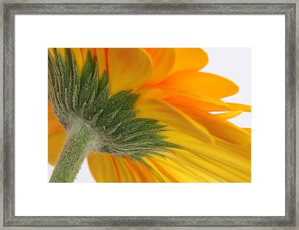 Gerbera Framed Print by Shirley Mitchell