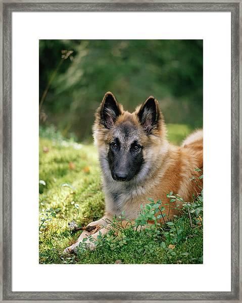 German Shepherd Dog Framed Print by Bjorn Svensson/science Photo Library