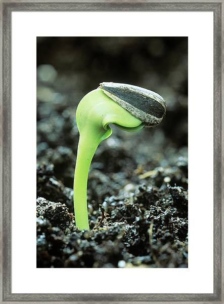 Germinating Sunflower Seed Framed Print