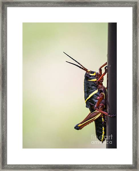 Giant Eastern Lubber Grasshopper Framed Print