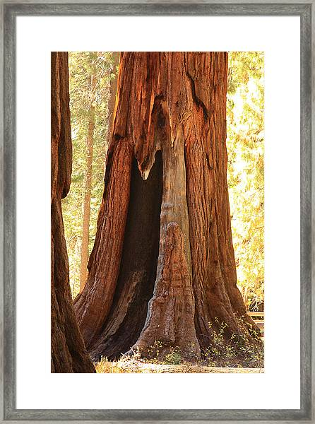 Giant Forest Sequoia Tree Framed Print