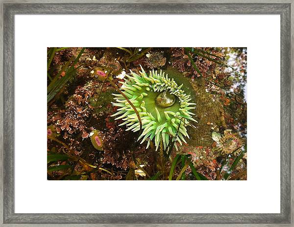 Giant Green Anemone Framed Print