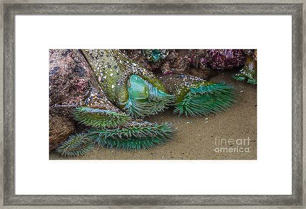 Giant Green Anemone Framed Print