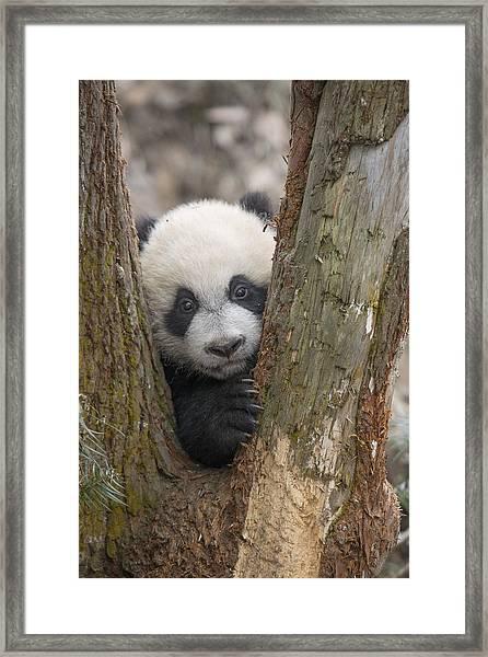 Giant Panda Cub Bifengxia Panda Base Framed Print