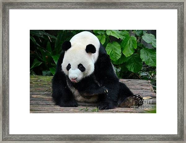 Giant Panda With Tongue Touching Nose At River Safari Zoo Singapore Framed Print