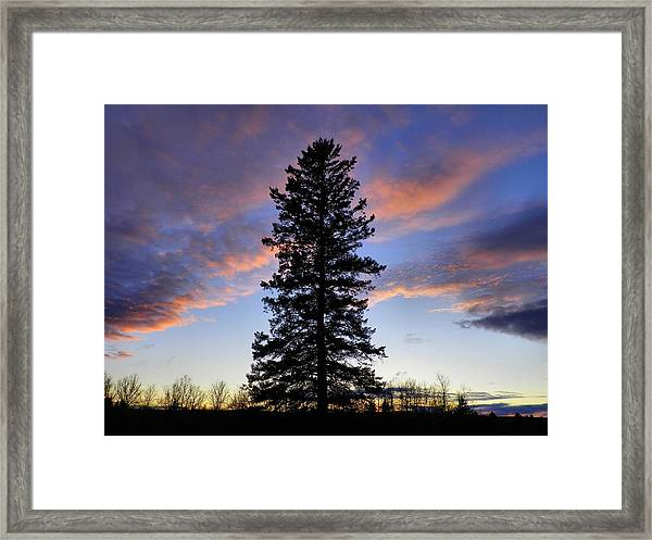Giant Spruce Tree Sunset Framed Print by Gene Cyr