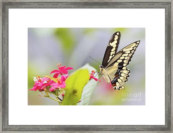 Giant Swallowtail II Framed Print by Pamela Gail Torres