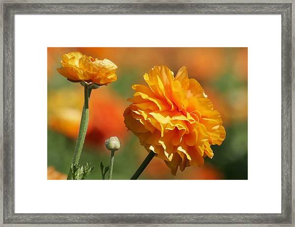 Giant Tecolote Ranunculus - Carlsbad Flower Fields Ca Framed Print